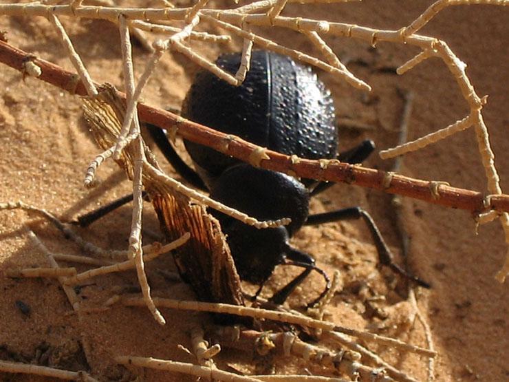 Die überall vorhandenen Käfer
