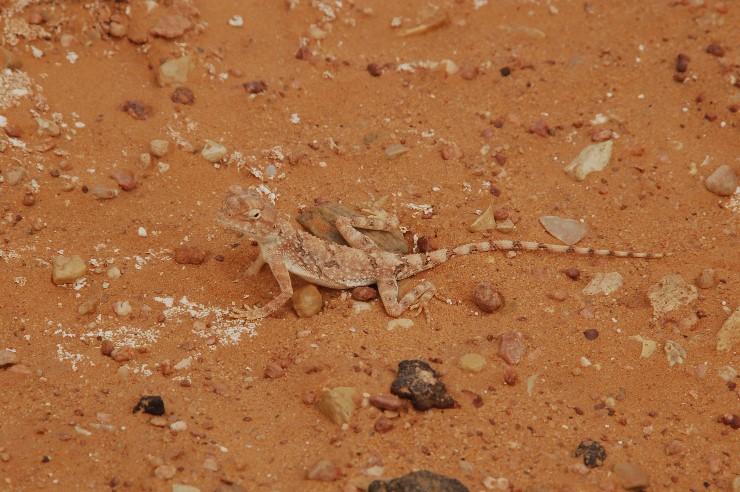 Auch in der Sahara gibt es Leben, aber es ist schwer zu finden- so wie diesen perfekt getarnten bunten Kameraden.