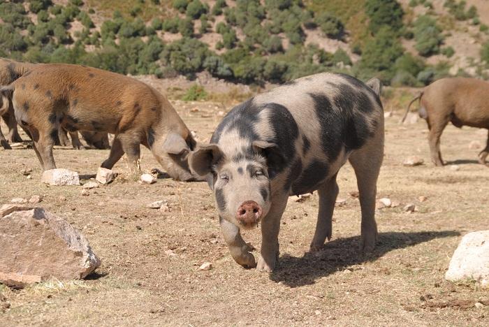 Schwein gehabt, wie auf Korsika leben die Schweine wild, nur das Grünland ist offnungslos überweidet.